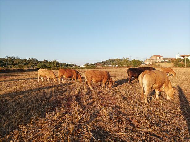 Animais bovinos de marca limousine