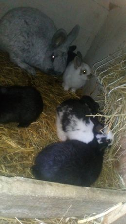Króliki młode samce i samiczki 6 królików