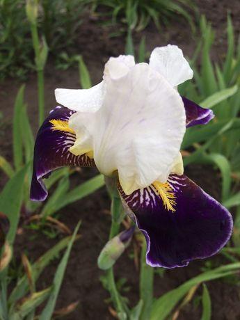 Іриси Ирисы бородатые цветы многолетние