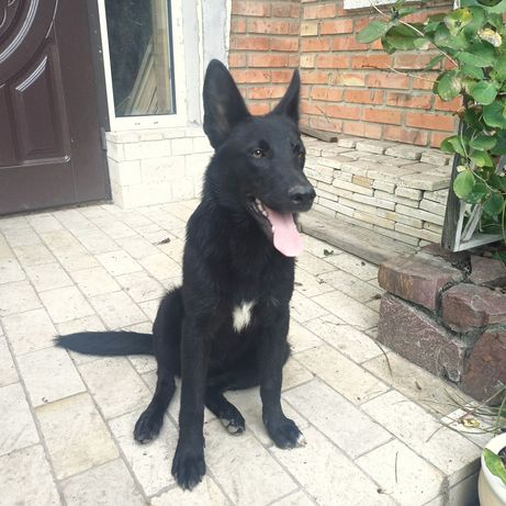Молодая собака в хорошие руки