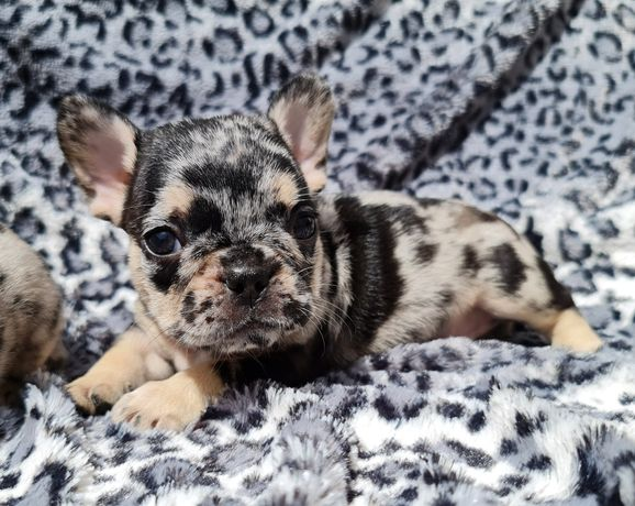 Bulldog Francês Black Merle Tan