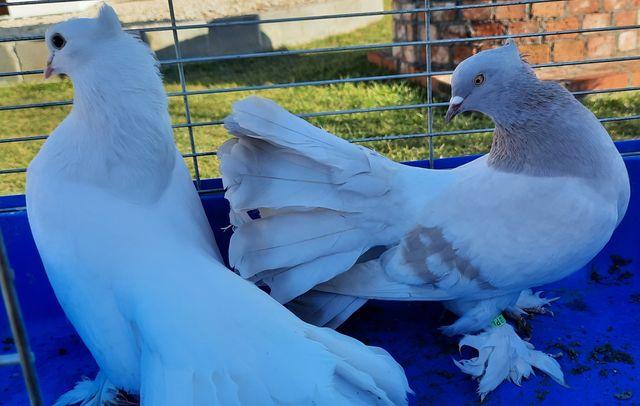 Pawik Indyjski gołębie ozdobne