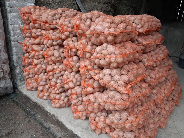 Ziemniaki różowe BELLAROSA