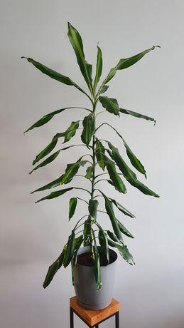 Duża dracena cintho 140cm roślina doniczkowa