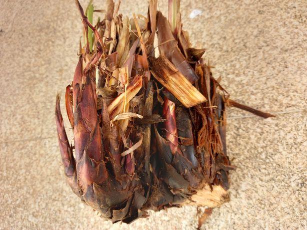 Raizes ou pés de papiro para plantar
