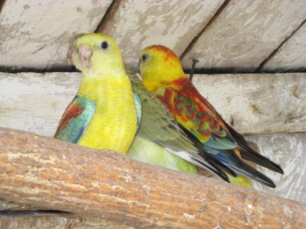 Певчие попугаи в г.Ахтырка.Разные окрасы певчих попугаев.