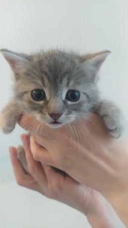 Котенок -мальчик 1,5 месяца