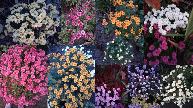 Продам излишки хризантемы