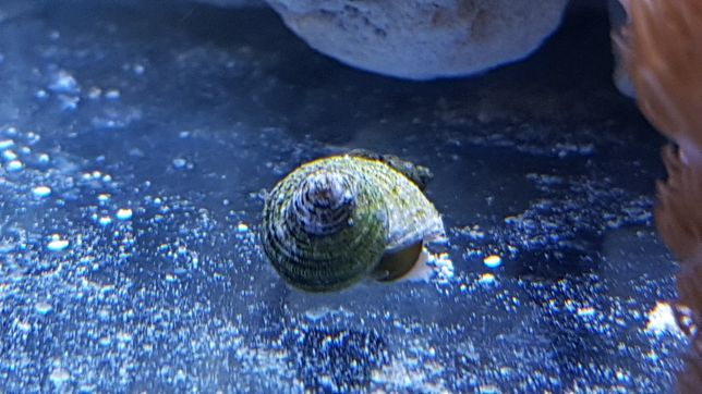 Akwarium morskie ślimaki turbo
