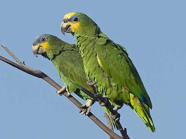 Vendo casal de papagaios amazonas amazónico