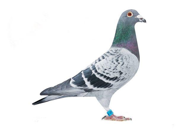 Młode Gołębie Pocztowe Kulbackie De Klak Verbart