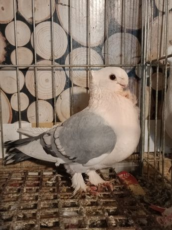 Gołębie ozdobne mewka błądynet,bluet