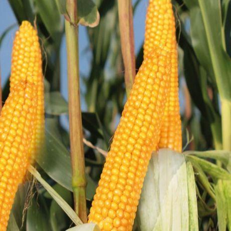 Kukurydza KWS Silvestre Z 220 / K 230 super na słabsze ziemie