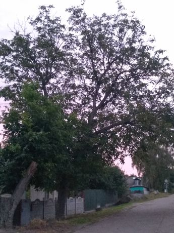 Дерево   горіха.