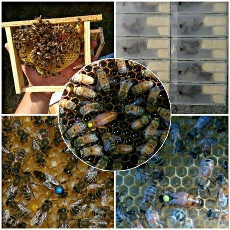Бджоломатки, Пчеломатки Бакфаст, Карника!