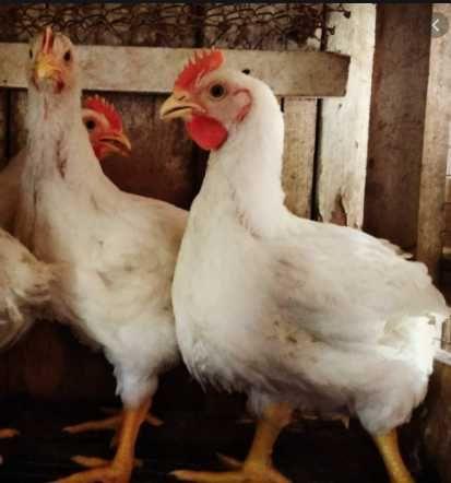 імпортні інкубаційні яйця. кури КОББ-500