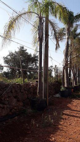 Temos palmeiras coqueiro de vários tamanhos a bons preços