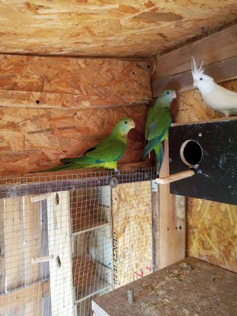 Zamienię papugi nimfy