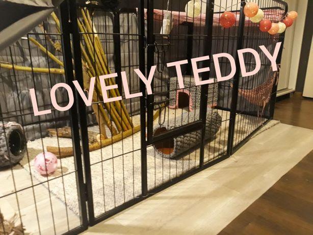 WOLNE KRÓLICZKI! karzełek teddy, królik, karzełek, miniaturka