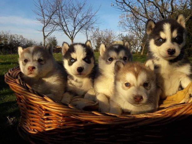 ‼ husky siberian husky WYPRAWKA sunia samiec pies szczeniak malutki‼