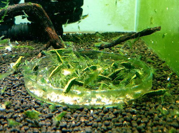 Krewetki Neocaridina Green Jade 30 sztuk Selekcja__Częstochowa