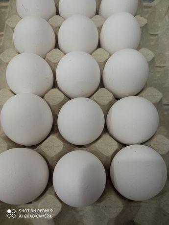 Jajka wiejskie białe (duże) wolny wybieg najsmaczniejsze na rynku