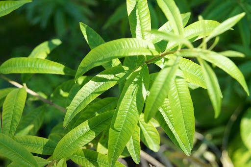 Limonete / Lúcia-lima (folhas)