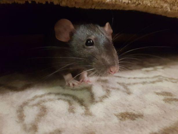 Отдам даром мышку