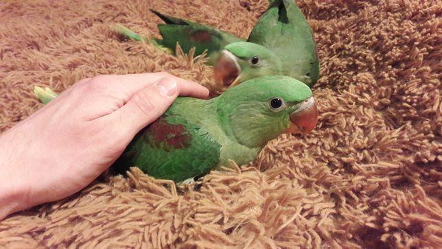 Александрийский попугай, ручной , выкормиш