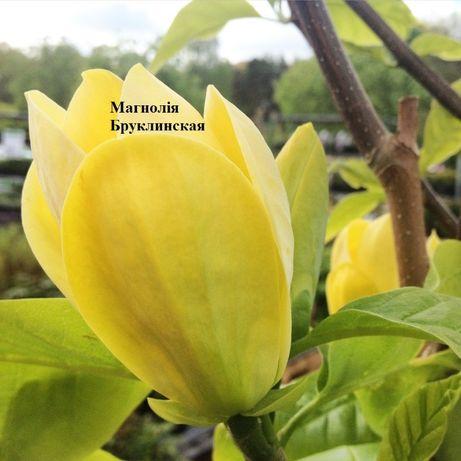 Саженцы Магнолий та много других растений
