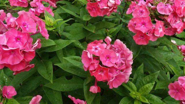 Флокси насичено рожевий колір продам