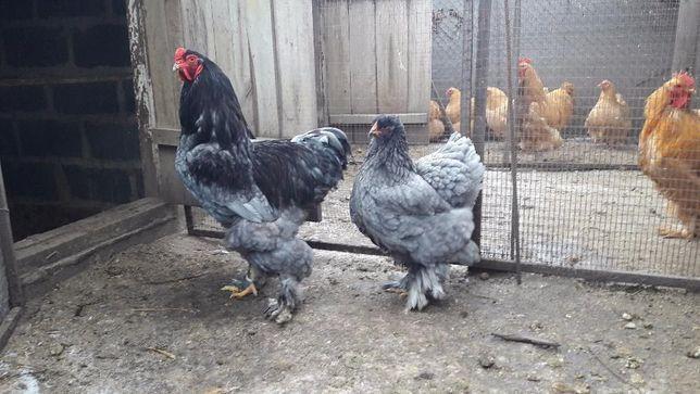 куры Брама голубая яйцо инкубационное, цыплята