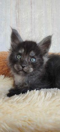 Котята Мейн Кун будут готовы к переезду после полной вакцинации