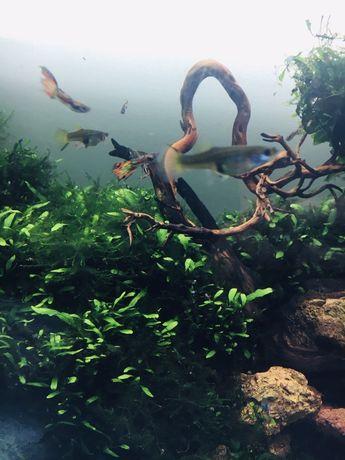 Guppies (otimos para iniciantes na aquariofilia)