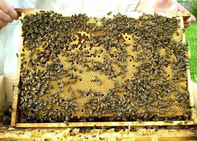 Бджолина Карпатка (Carpatica) Порода з Закарпатського регіону