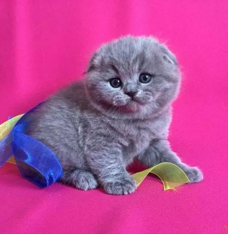 Одесса клубные шотландские котята вислоушки
