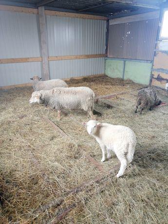 Owieczki baranki