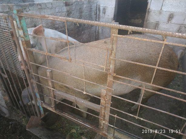 Продам свиней живою вагою.