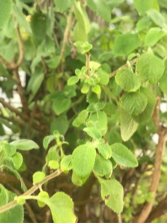 Boldo planta