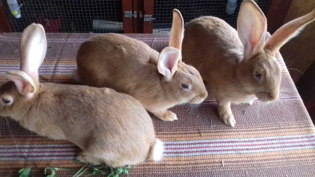 Burgundzkie- 4 samczyki po dużych rodzicach.