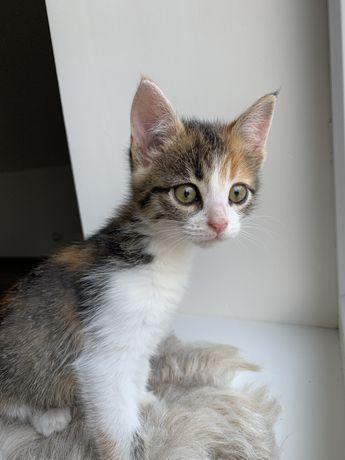 Трехцветна кошка, котенок, кот, кошечка