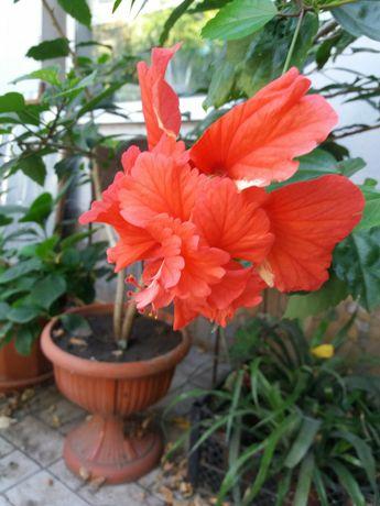 Китайская роза.большой вазон для офиса