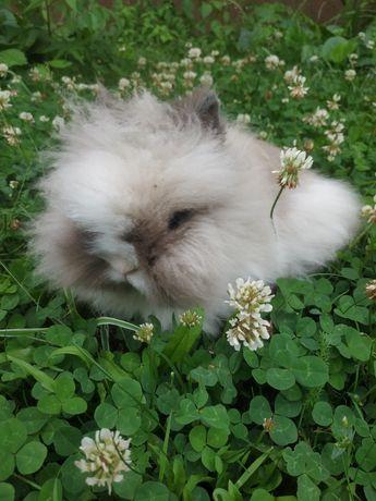 Karzełek Teddy karzełki Teddy króliki miniaturki królik miniaturka