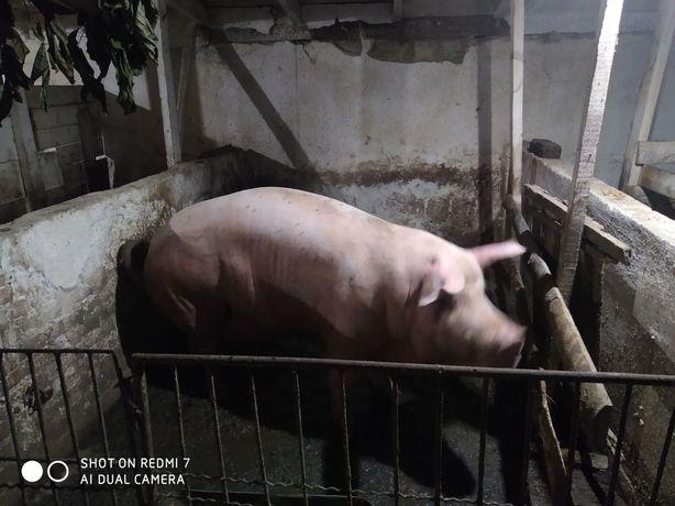 Збираємо замовлення на забій свинки до свят