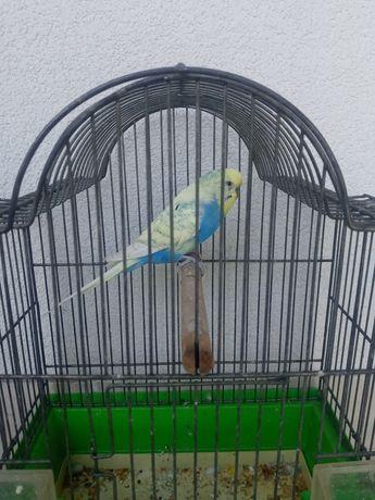 Papuga falista tęczowa samiec. (nimfy, faliste)