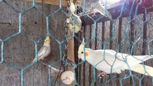 Sprzedam papugi Nimfy młode