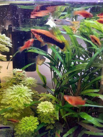 Mieczyk czerwony tuxedo mieczyki młode rybki akwarium