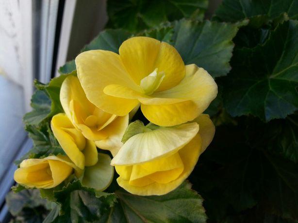 Бегония вечноцветущая, желтая ( лимонная).