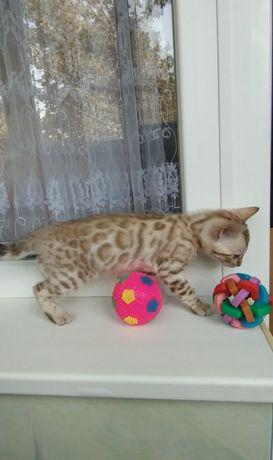 Снежный бенгальский кот