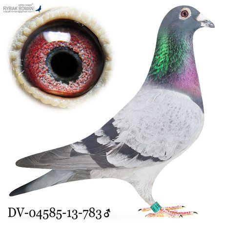 Młode 2021 para 20 Rene Geukens x Van Dyck gołąb gołębie pocztowe